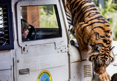 Harimau Sumatra di Kebun Binatang Taronga